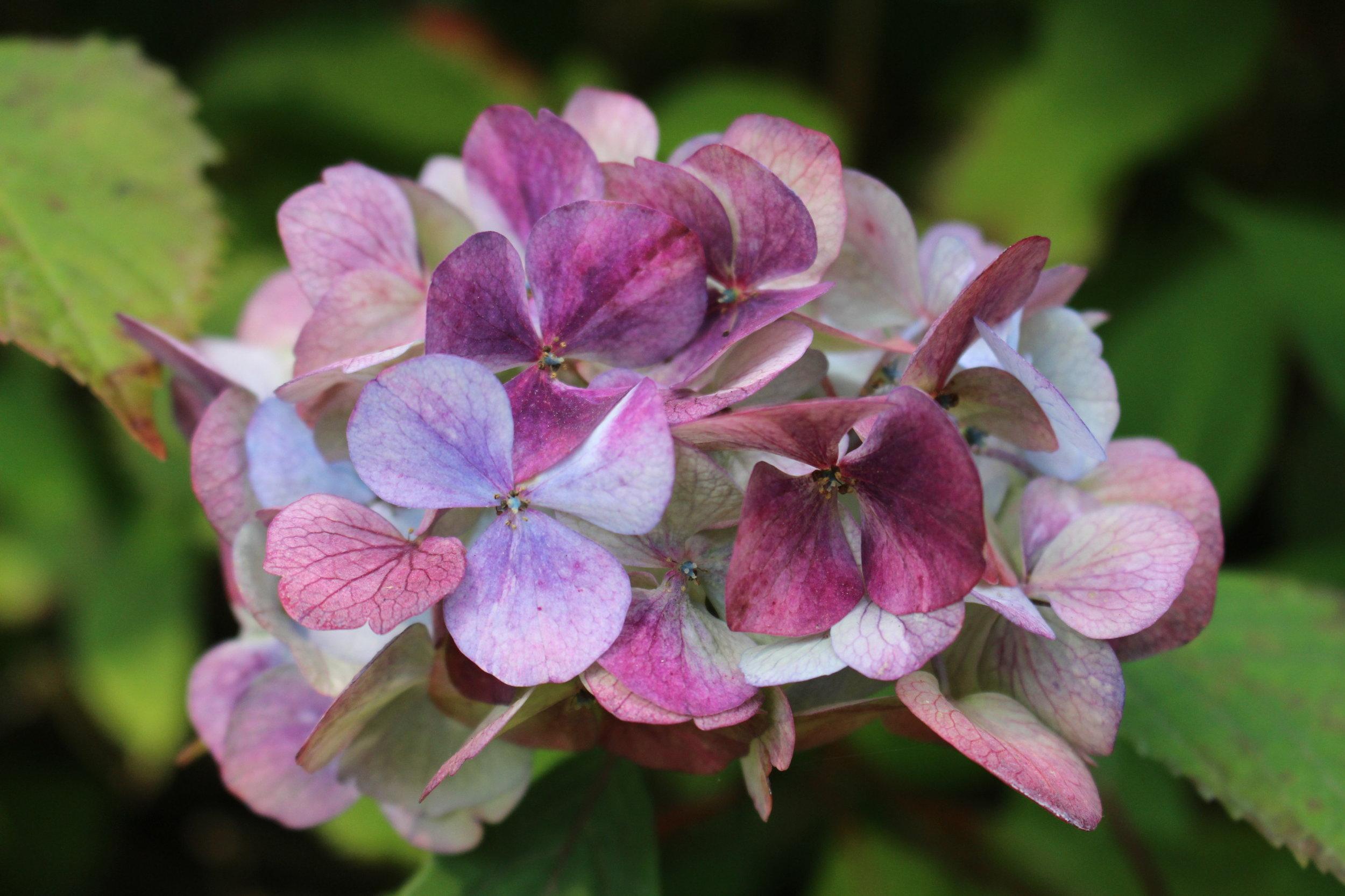 #124 Hydrangea, Hydrangea macrophylla