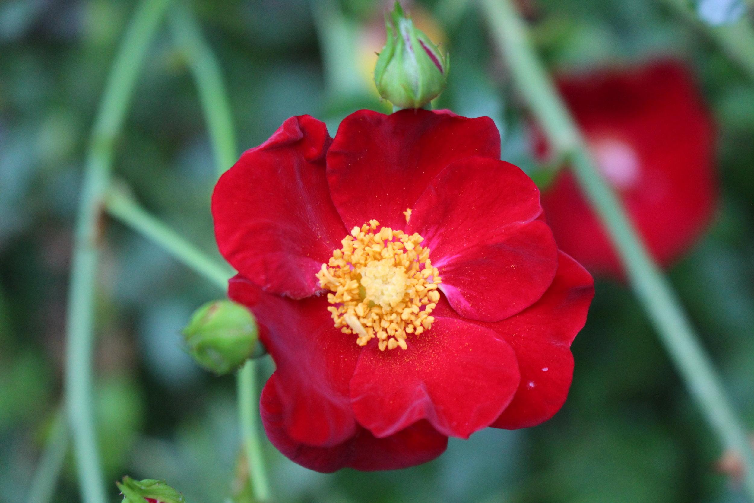 #125 Altissmo Climbing Rose,  Rosa