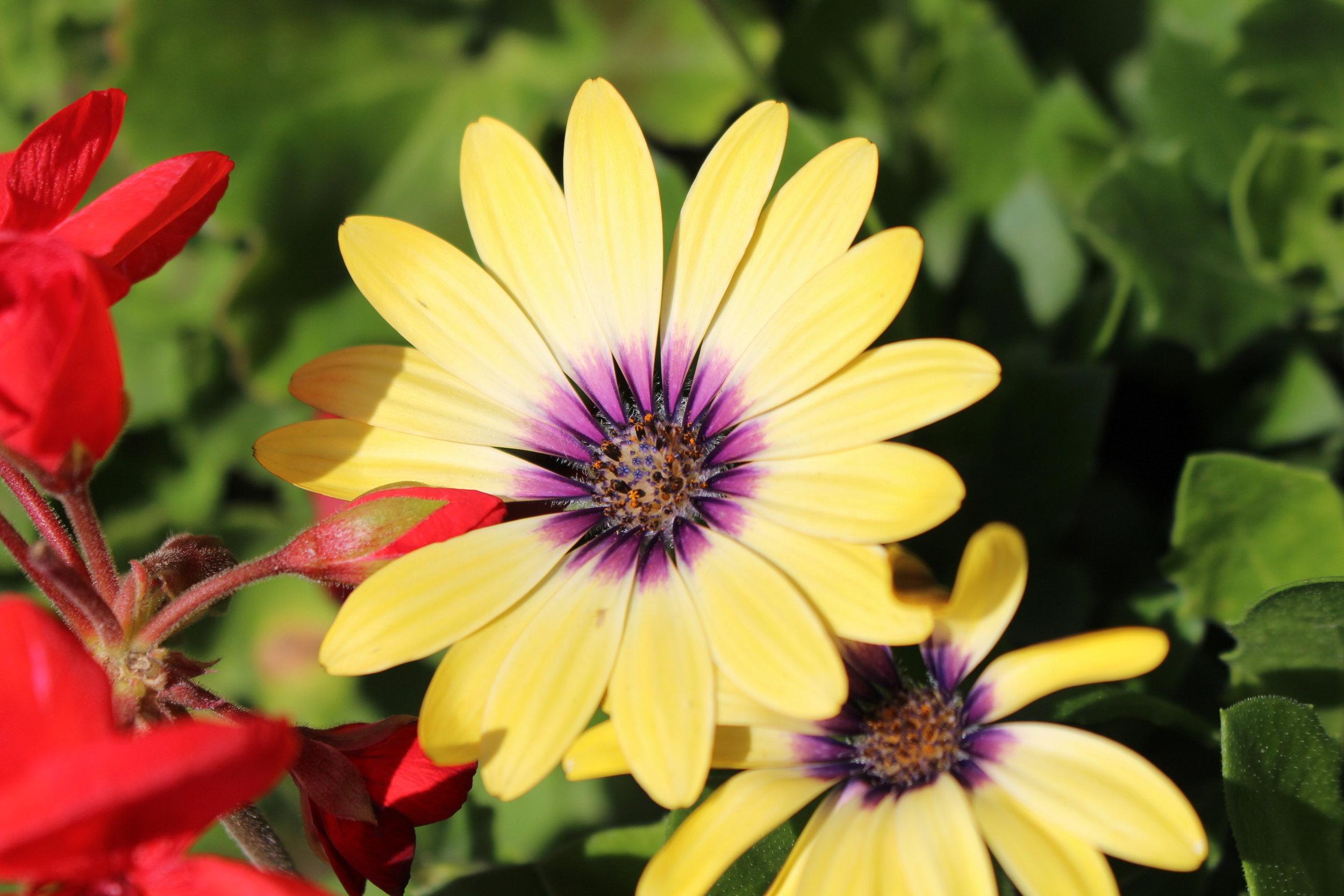 #129 Blue Eyed Beauty African Daisy,  Osteospermum