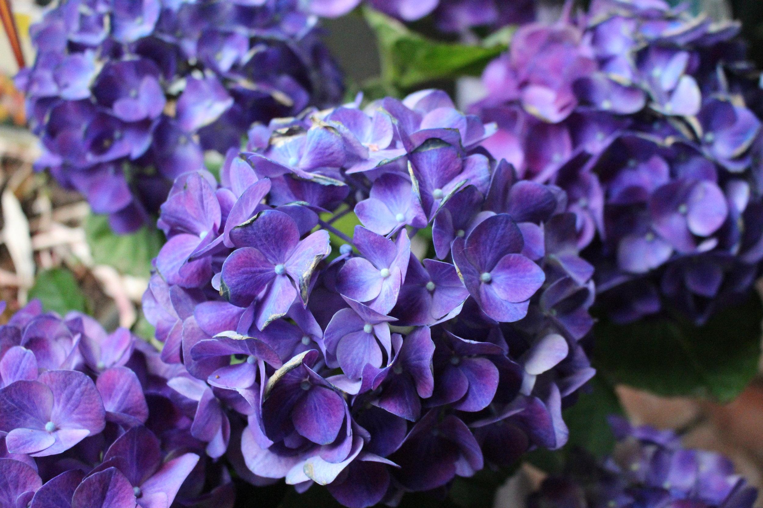 #138 Hydrangea, Hydrangea macrophylla