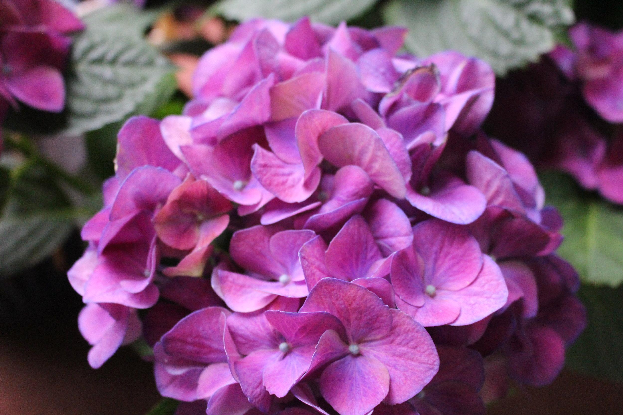 #139 Hydrangea, Hydrangea macrophylla
