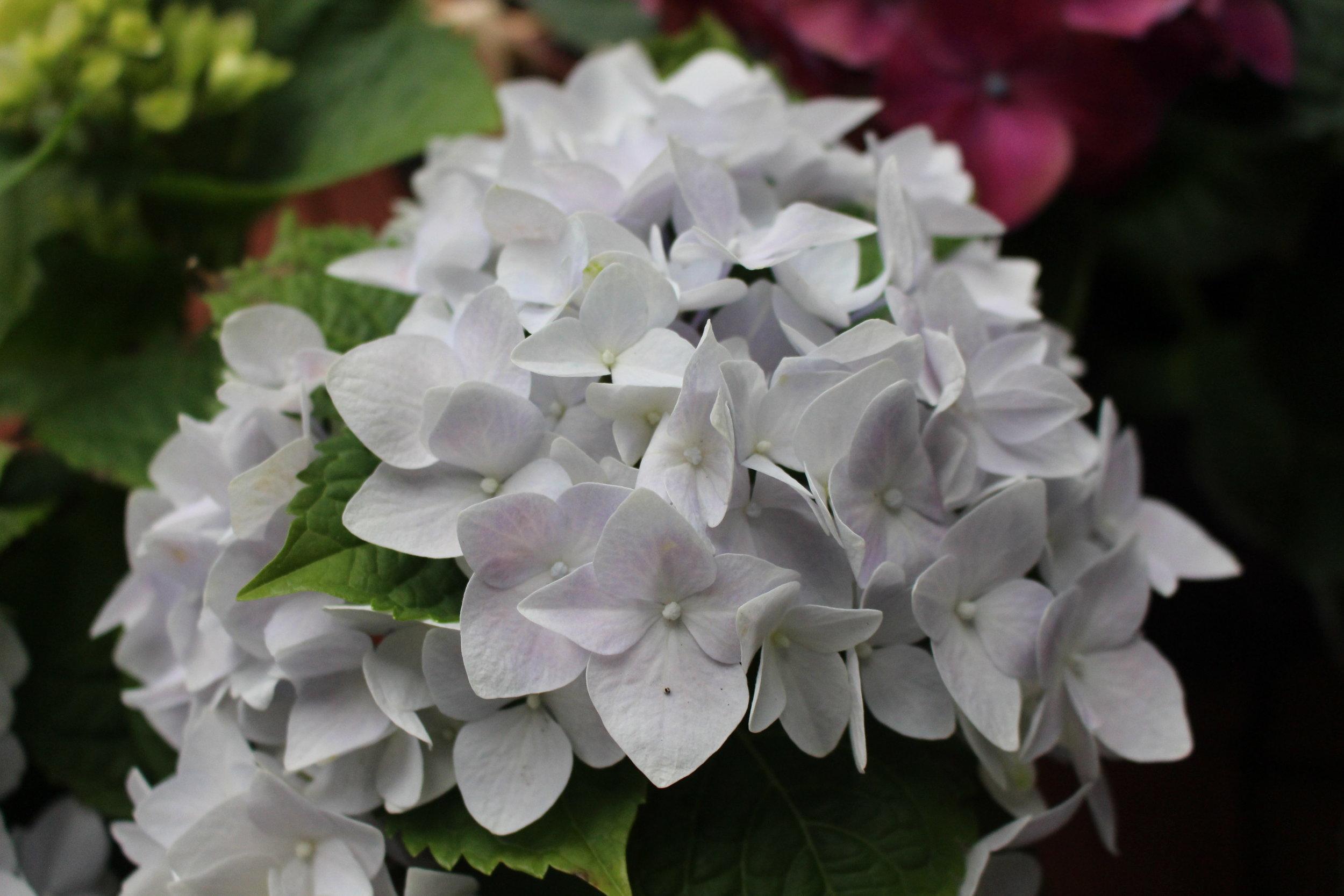 #141 Hydrangea, Hydrangea macrophylla