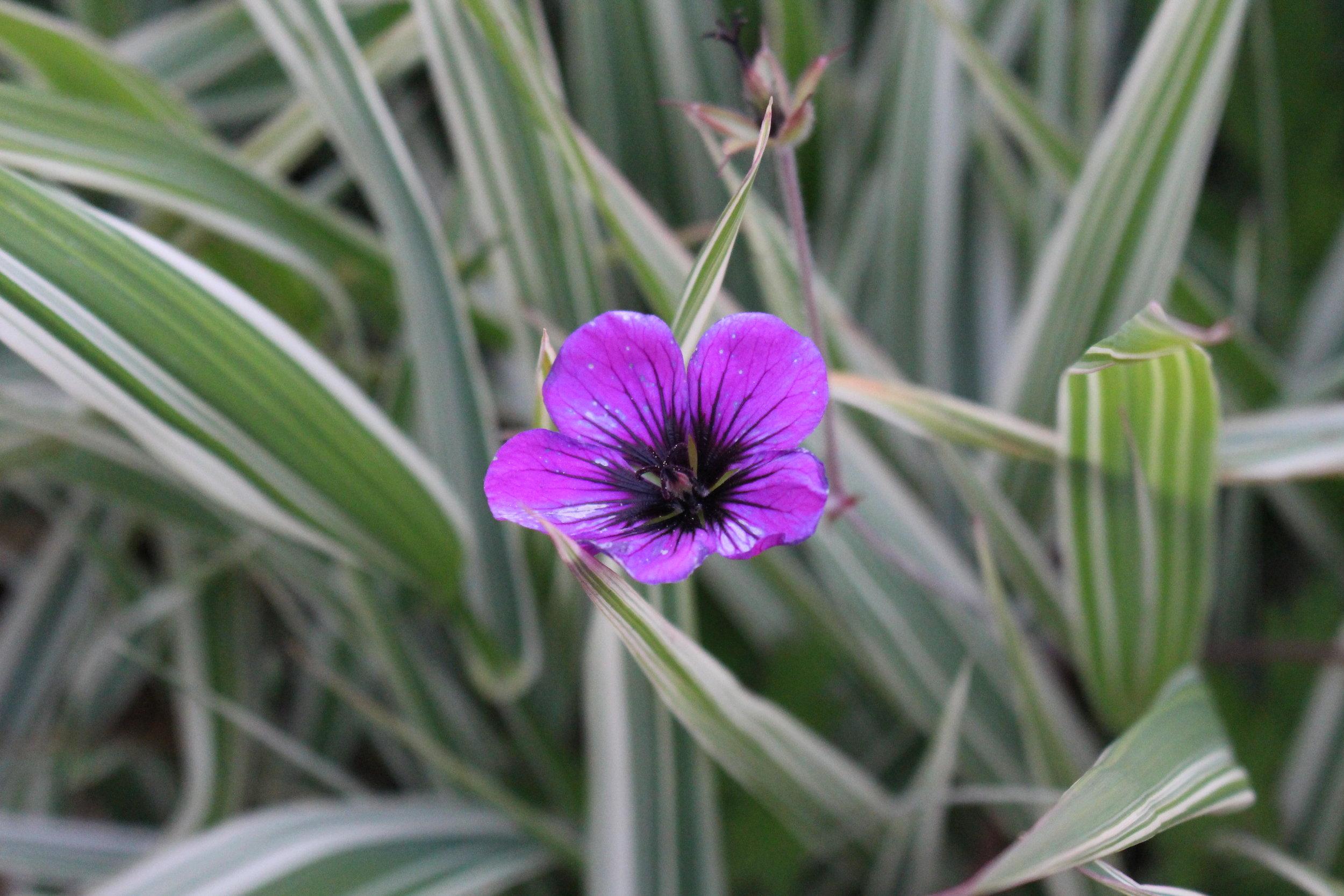 #145 Wax Flower, Chamelaucium