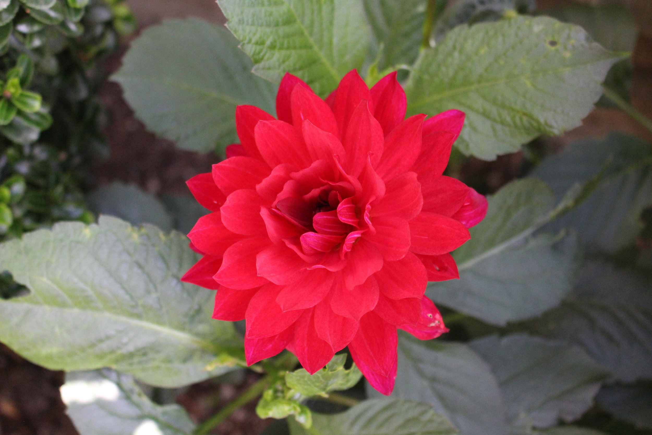 #146 Dahlia, Asteraceae