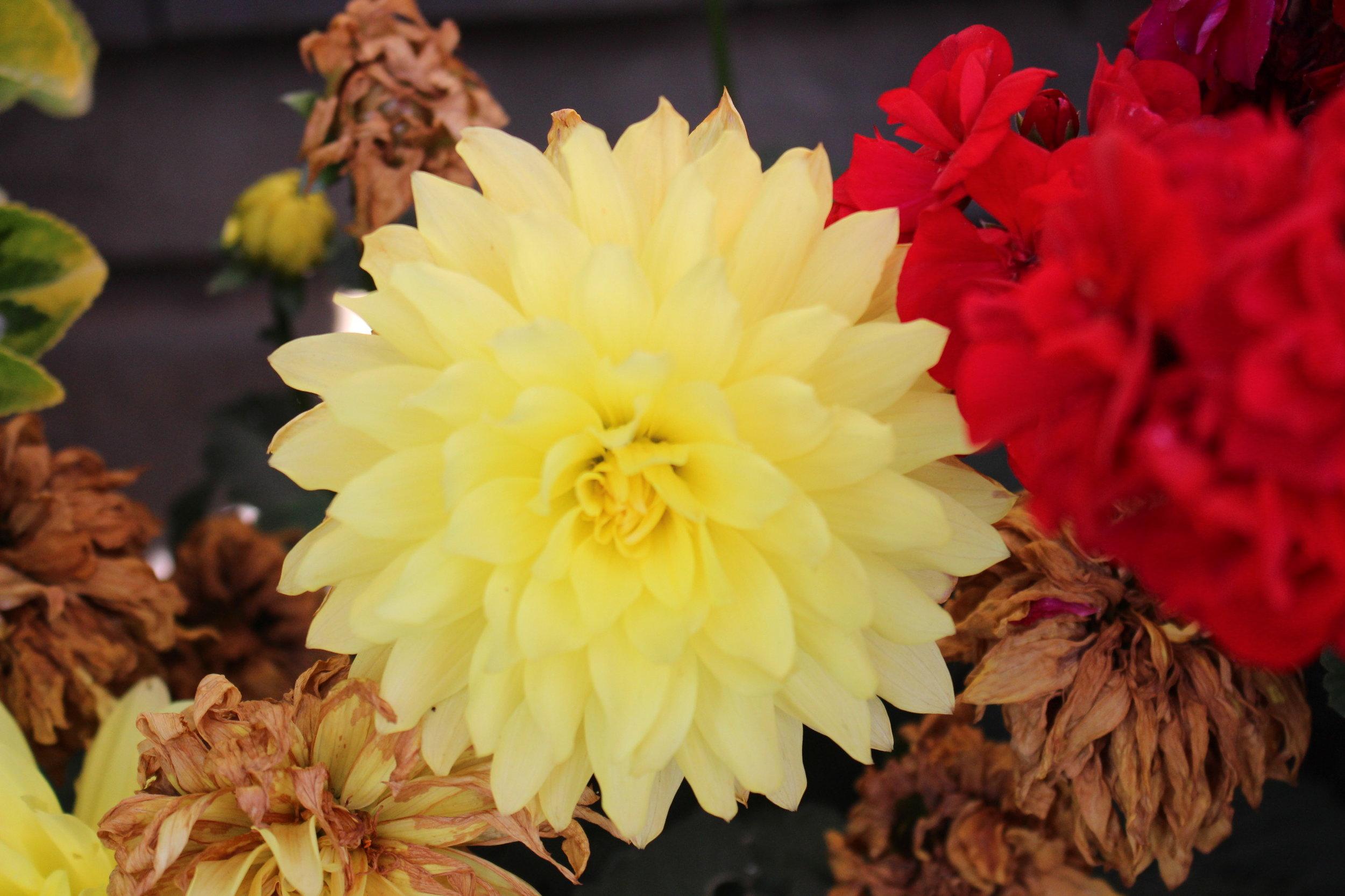 #147 Dahlia, Asteraceae