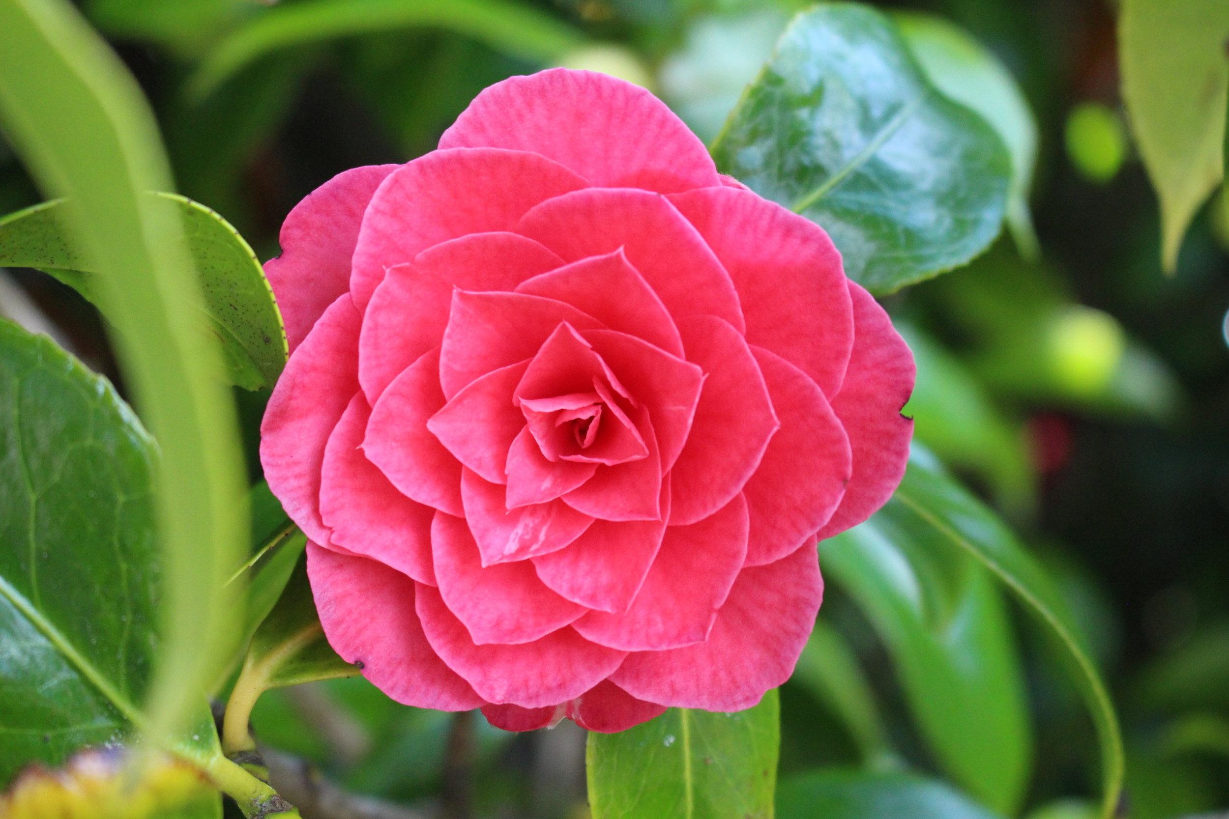 #152 Camelia, Camellia japonica