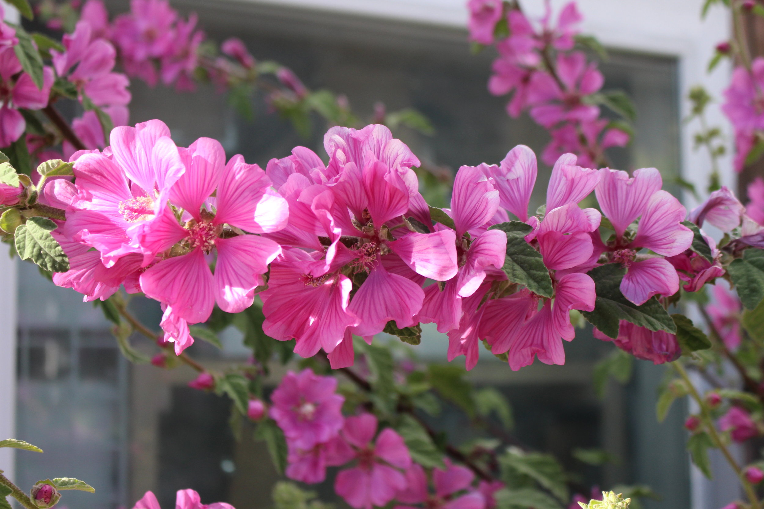 #156 Sidalcea malviflora