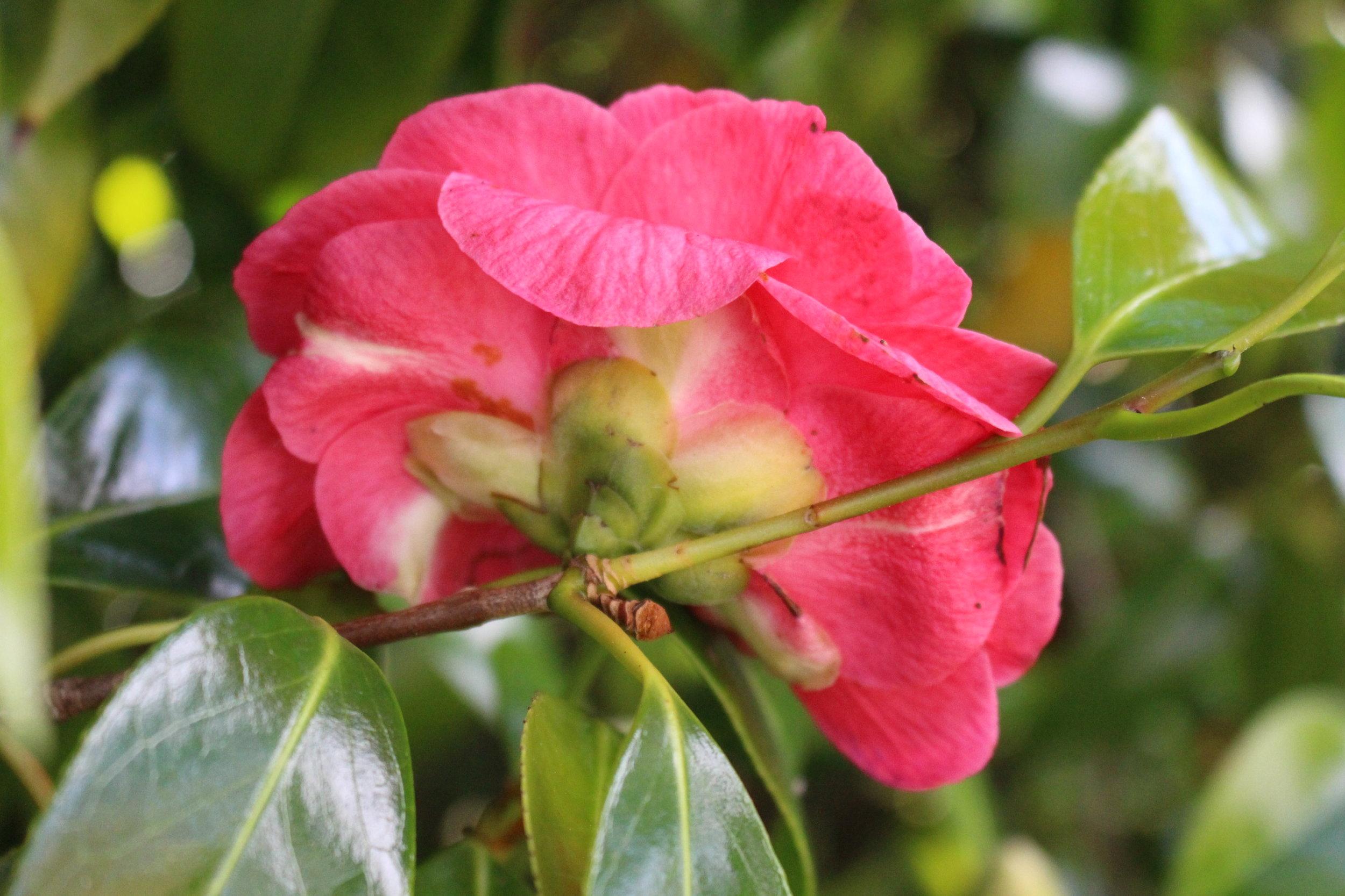 #157 Camelia, Camellia japonica