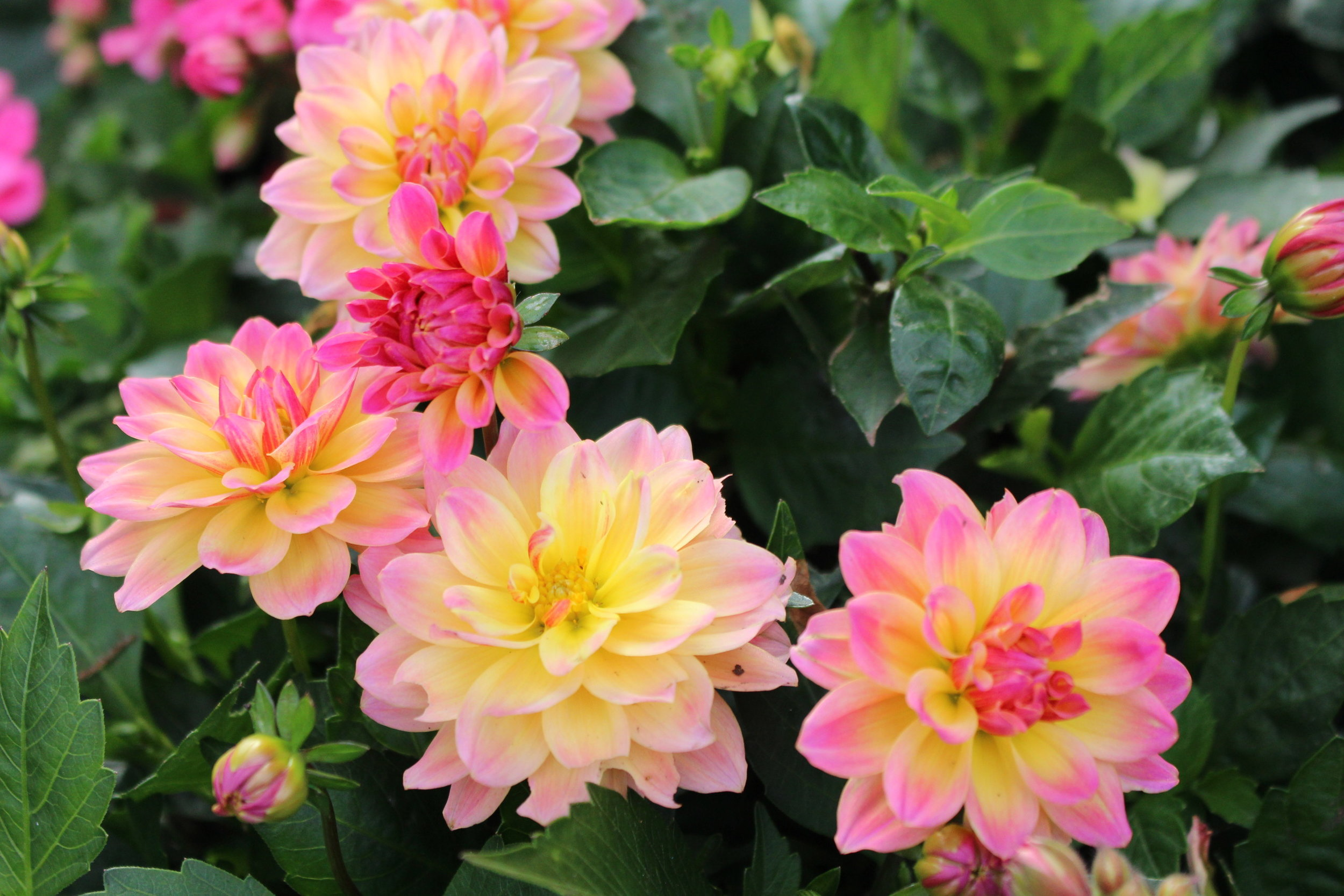 #165 Dahlia, Asteraceae