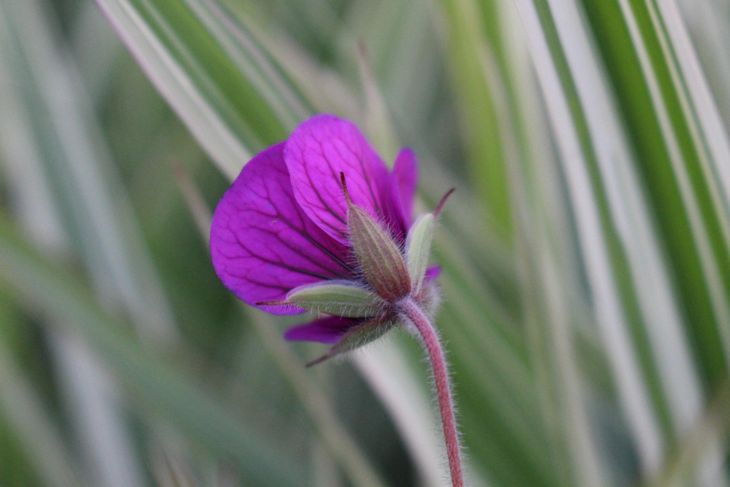 #168 Wax Flower, Chamelaucium