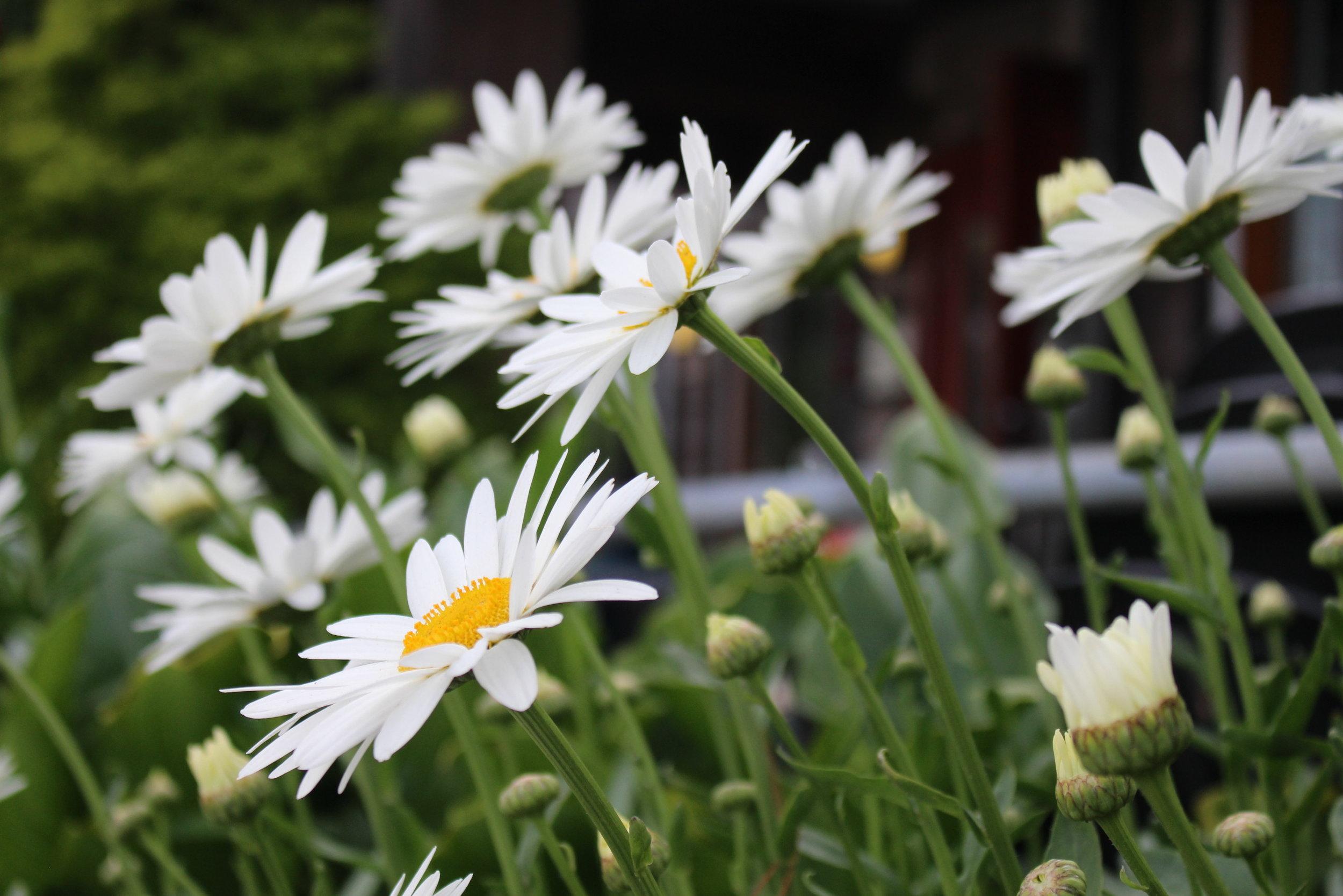 #176 Shasta Daisy,  Leucanthemum × superbum