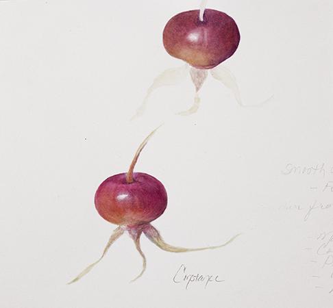 Rose Hip Practice, Watercolor in Journal, ConstanceReeder.Com