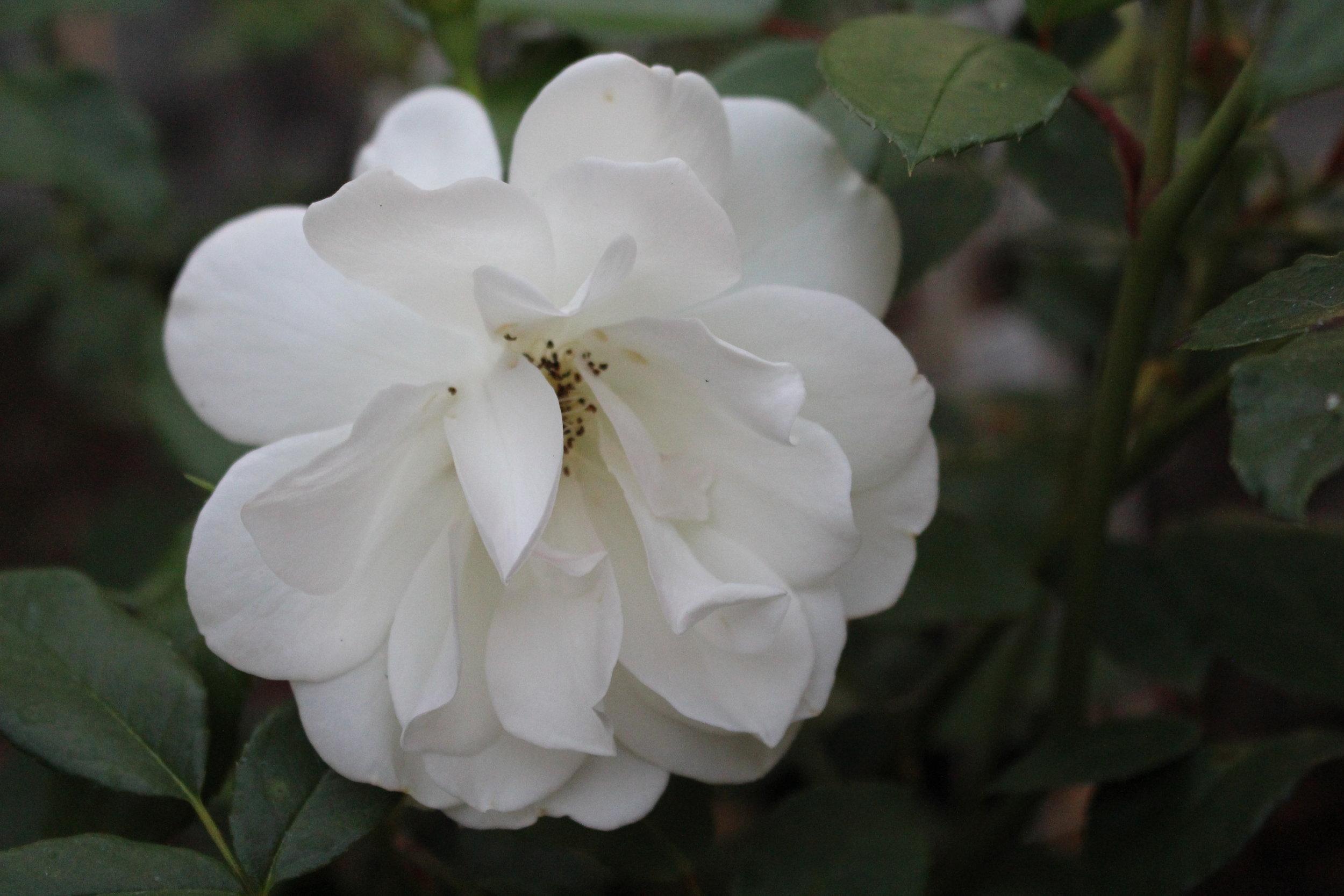 #187 Rose,  Rosa