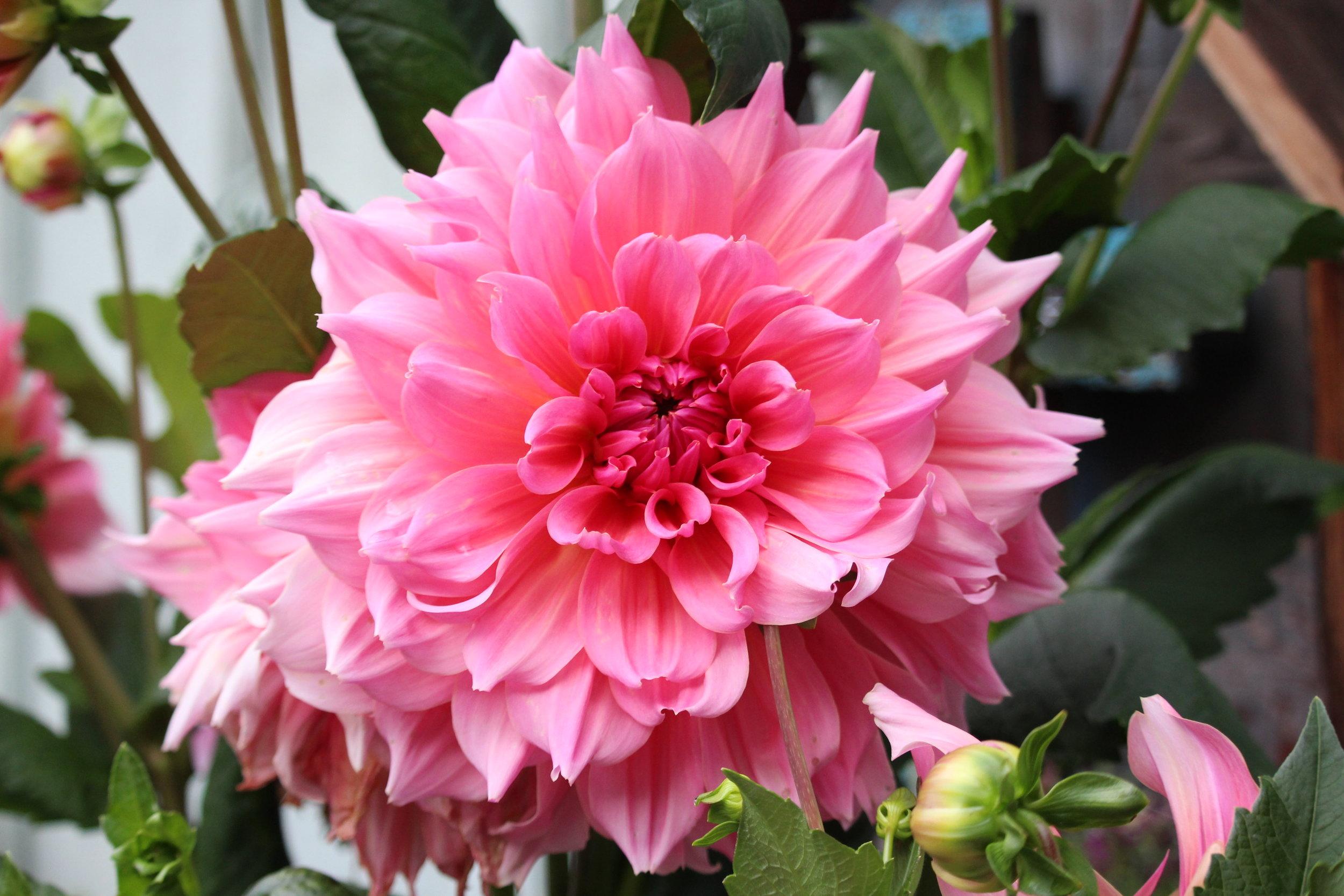 #189 Dahlia, Asteraceae