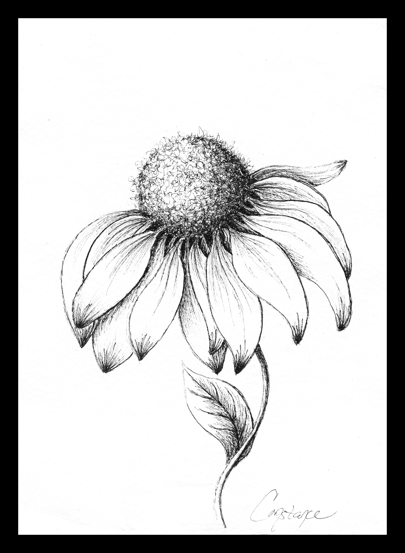 Coneflower in Ink by Constance Reeder Art