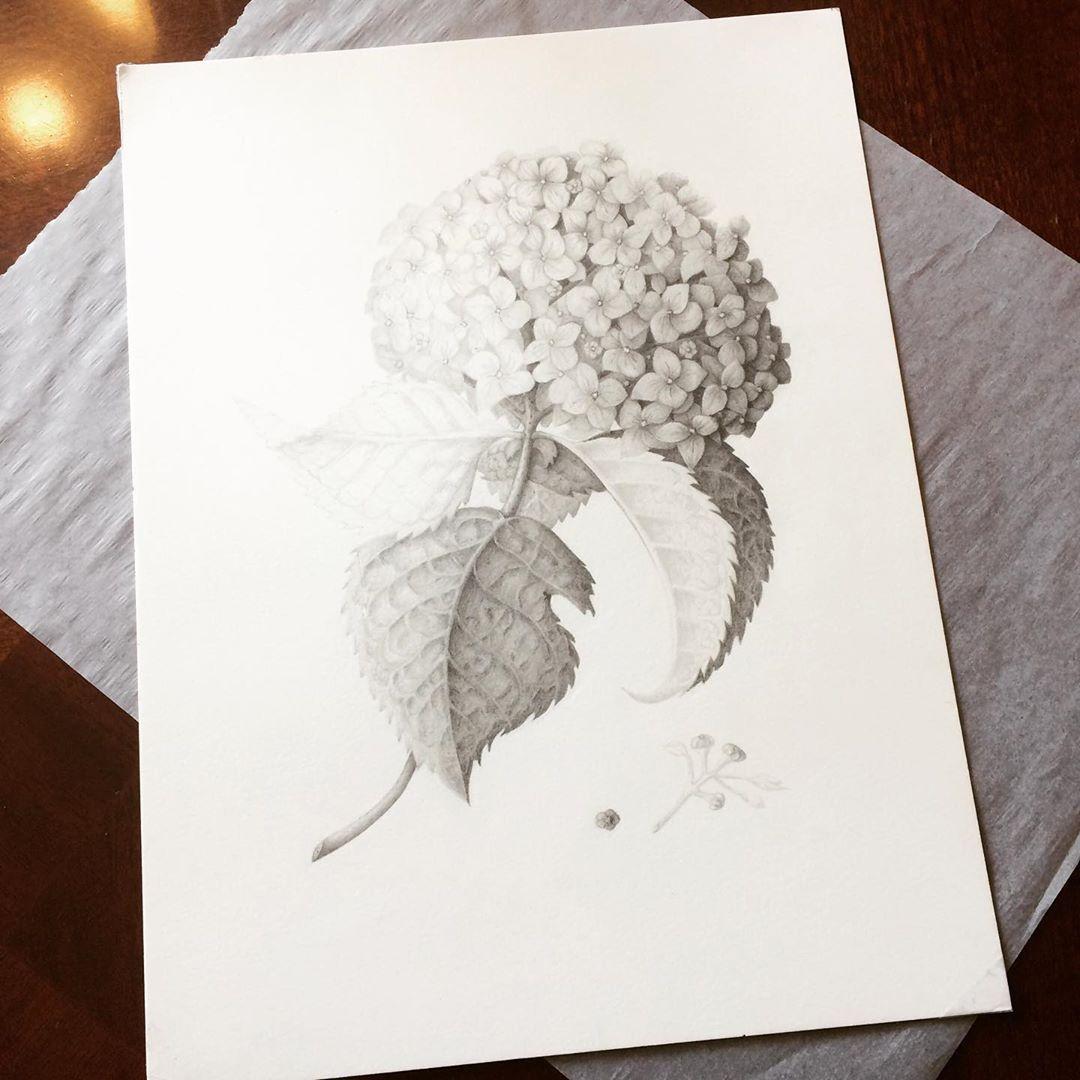 Hydrangea Composition, Graphite on Bristol, 12x16, ConstanceReeder.Com