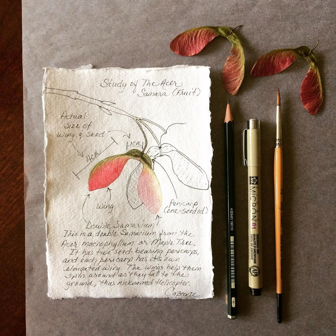 You can find this Original Watercolor Illustration of this Maple Seed Pod Study  HERE