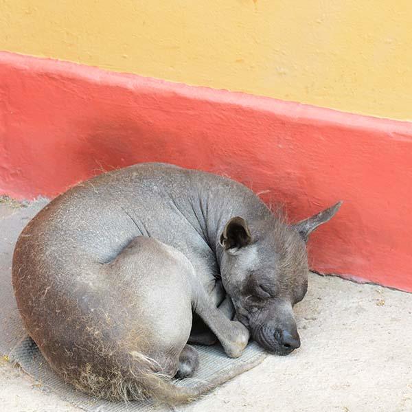 Peruvian Hairless Dog, Trujillo, Peru, 2014.