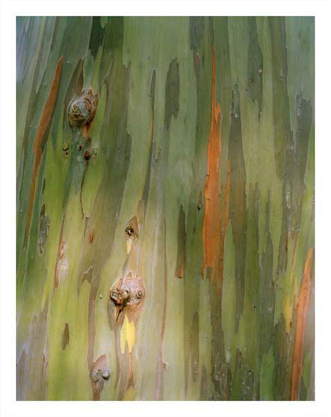 Rainbow Eucalyptus Trunk, close-up, 2010