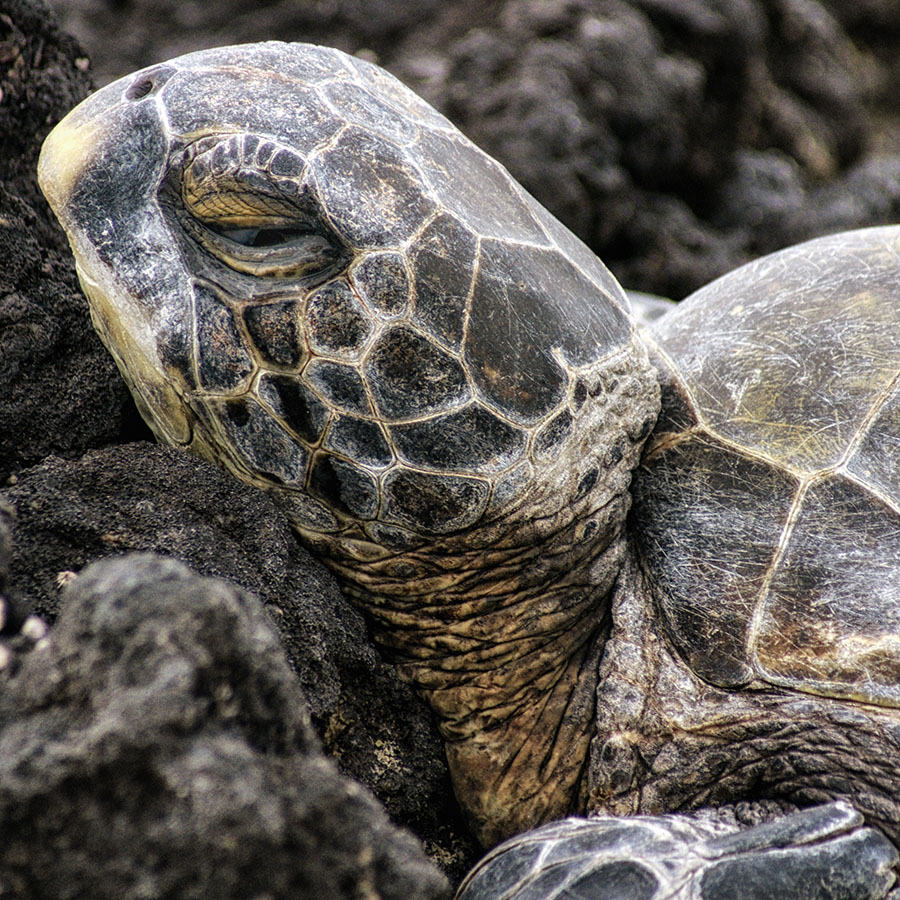 Turtle, Hawaii, 2009