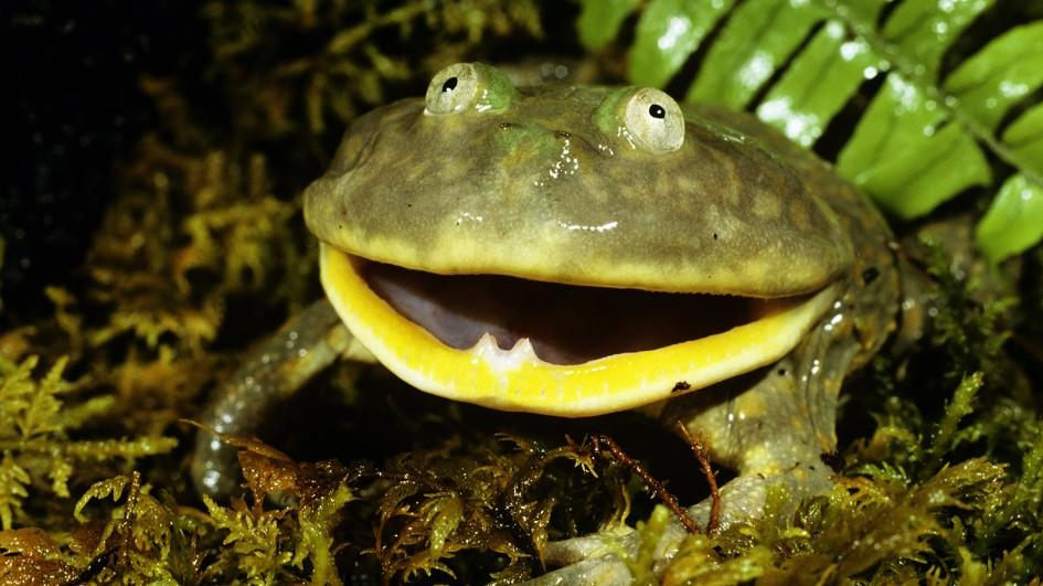 ww-frogs-budgetts.jpg.adapt.945.1