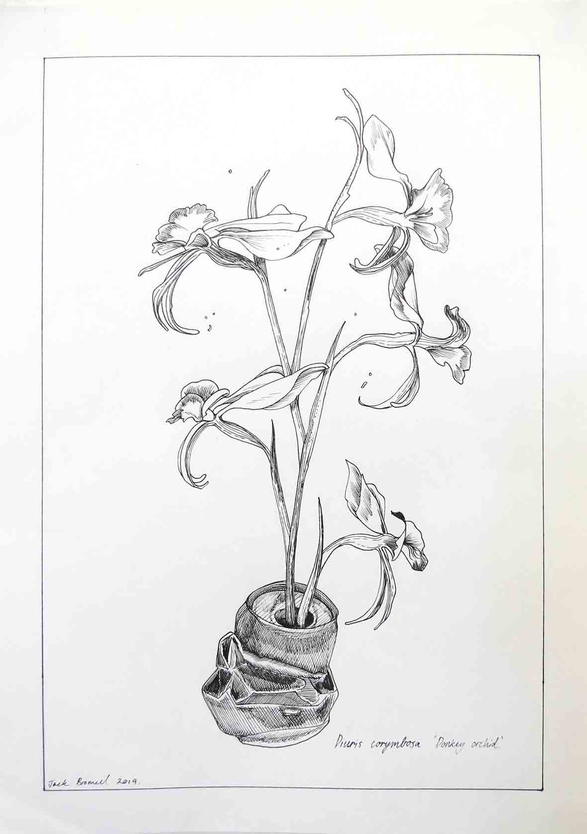 6. Jack Bromell Donkey Orchid growing out of a tinny #1, 2019 ink on paper 42 x 30 cm $90