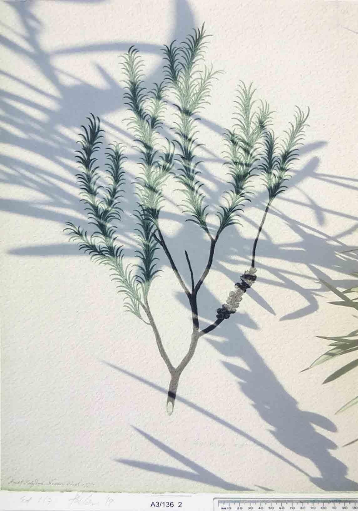8. Penny Coss Terminus (Ode to Melaleuca armillaris), 2019 digital print on 310gsm cotton rag edition of 3 42 x 29.7 cm $230