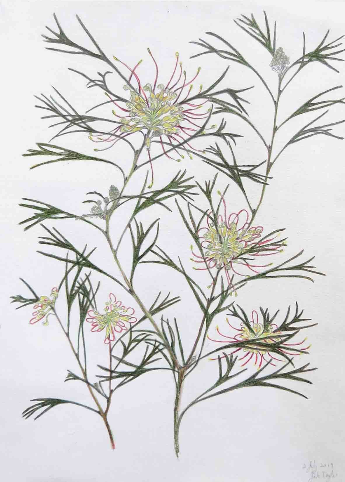 14. Jude Taylor, Grevillea Winpara Gold, 2019, colour pencil on paper, 42 x 30 cm NFS