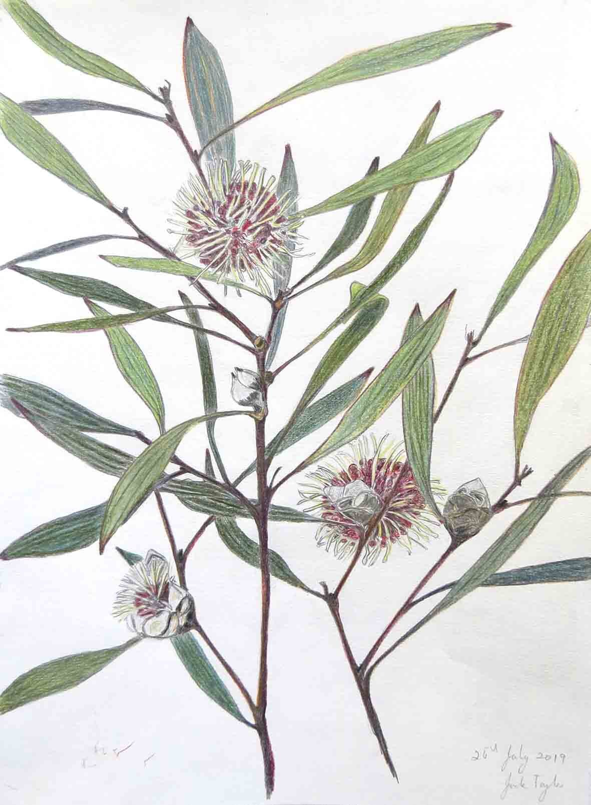 15. Jude Taylor, Pincushion Hakea, 2019, colour pencil on paper, 42 x 30 cm NFS