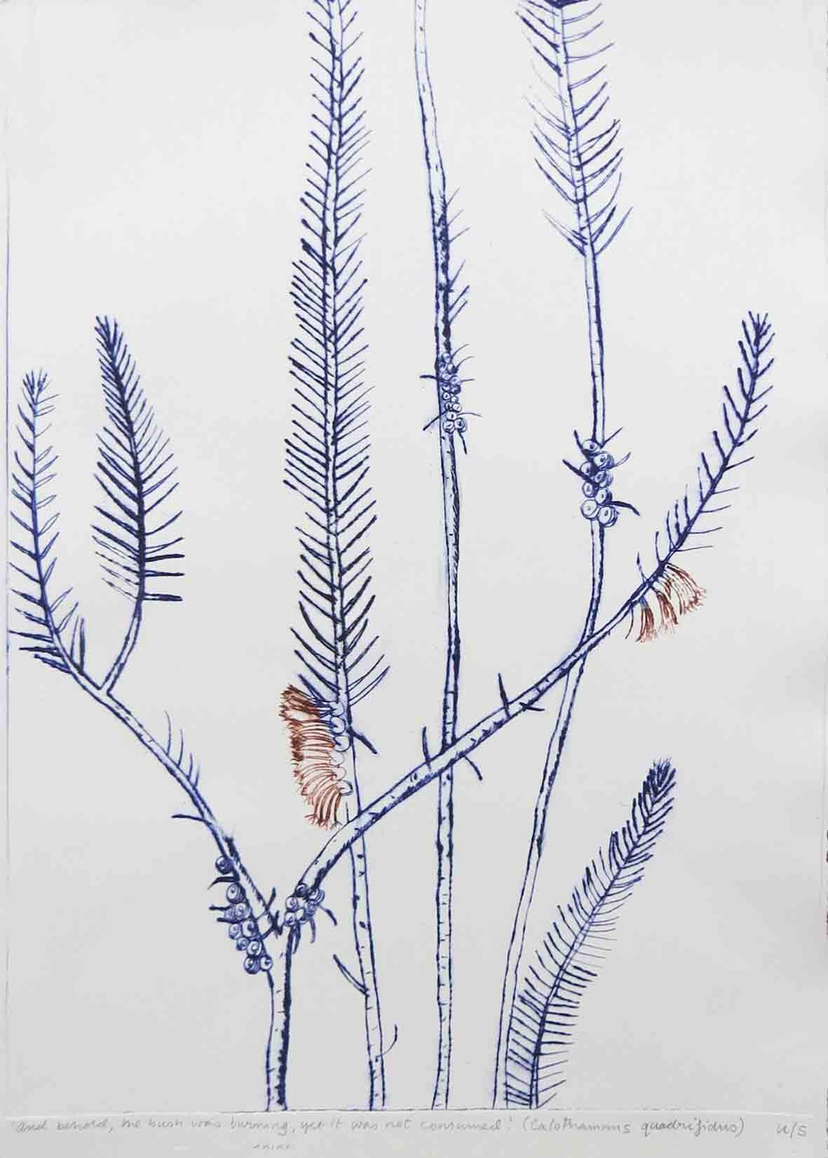 32. Marian Giles, 'And behold, the bush was burning, yet it was not consumed.' (Calothamnus quadrifidus), 2019, drypoint on Arches 88 paper, 42 x 29.7 cm $100