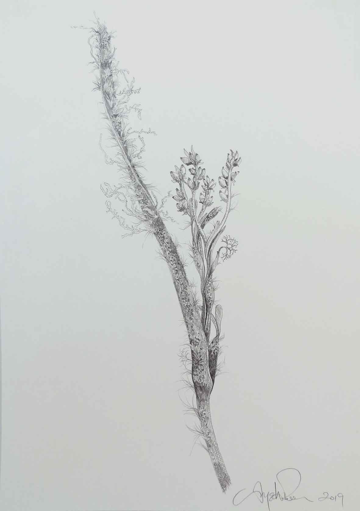 41. Angela Rossen, Posidonia australis red phase flower, 2019, pencil on paper, 42 x 30 cm $1,050