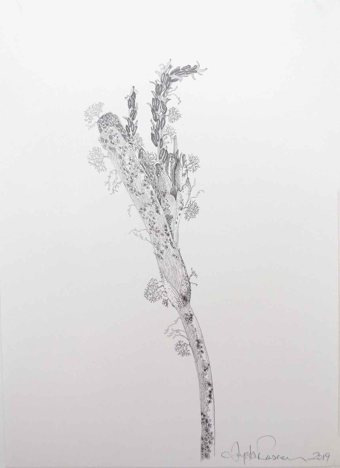 42. Angela Rossen, Posidonia australis with early fruits, 2019, pencil on paper, 42 x 30 cm $1,050