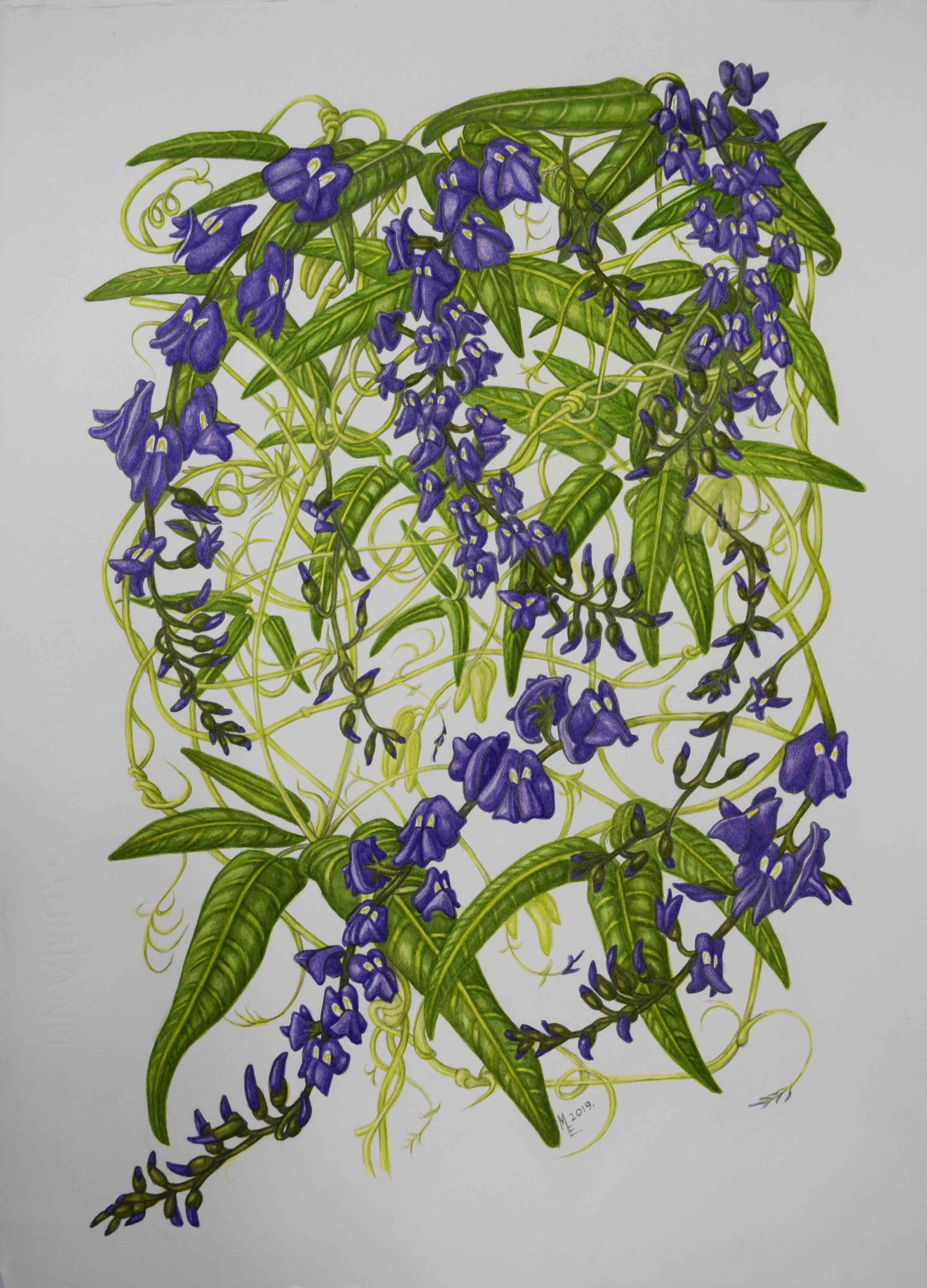 62. Megan Evans, Native Wisteria (Hardenbergia comptoniana), 2019, pencil and watercolour on 185gsm, watercolour paper, 42 x 28 cm $450