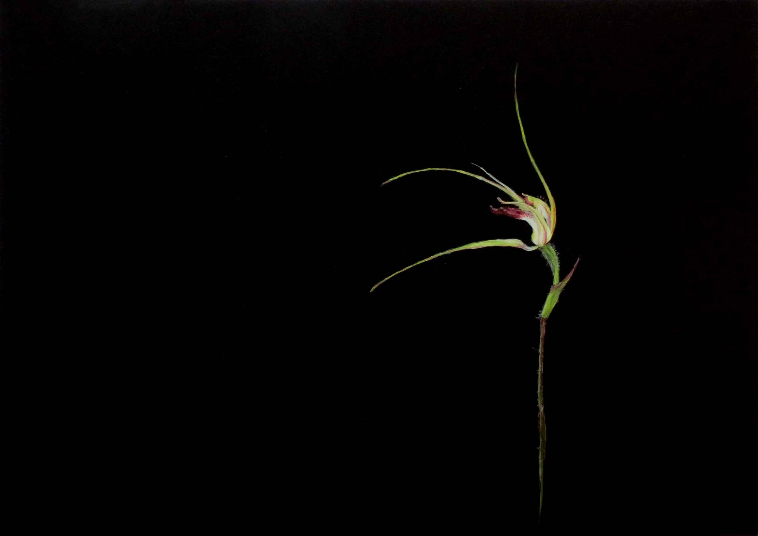 69. Clare McFarlane, Carousel Spider Orchid - study 2, 2019, acrylic on paper, 29.7 x 42 cm $275