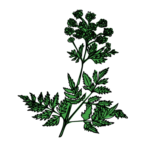Mayfield-gin-botanical-angelica-root.png
