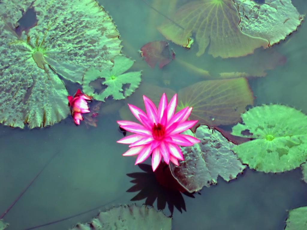 lotus-flower-photo.jpg
