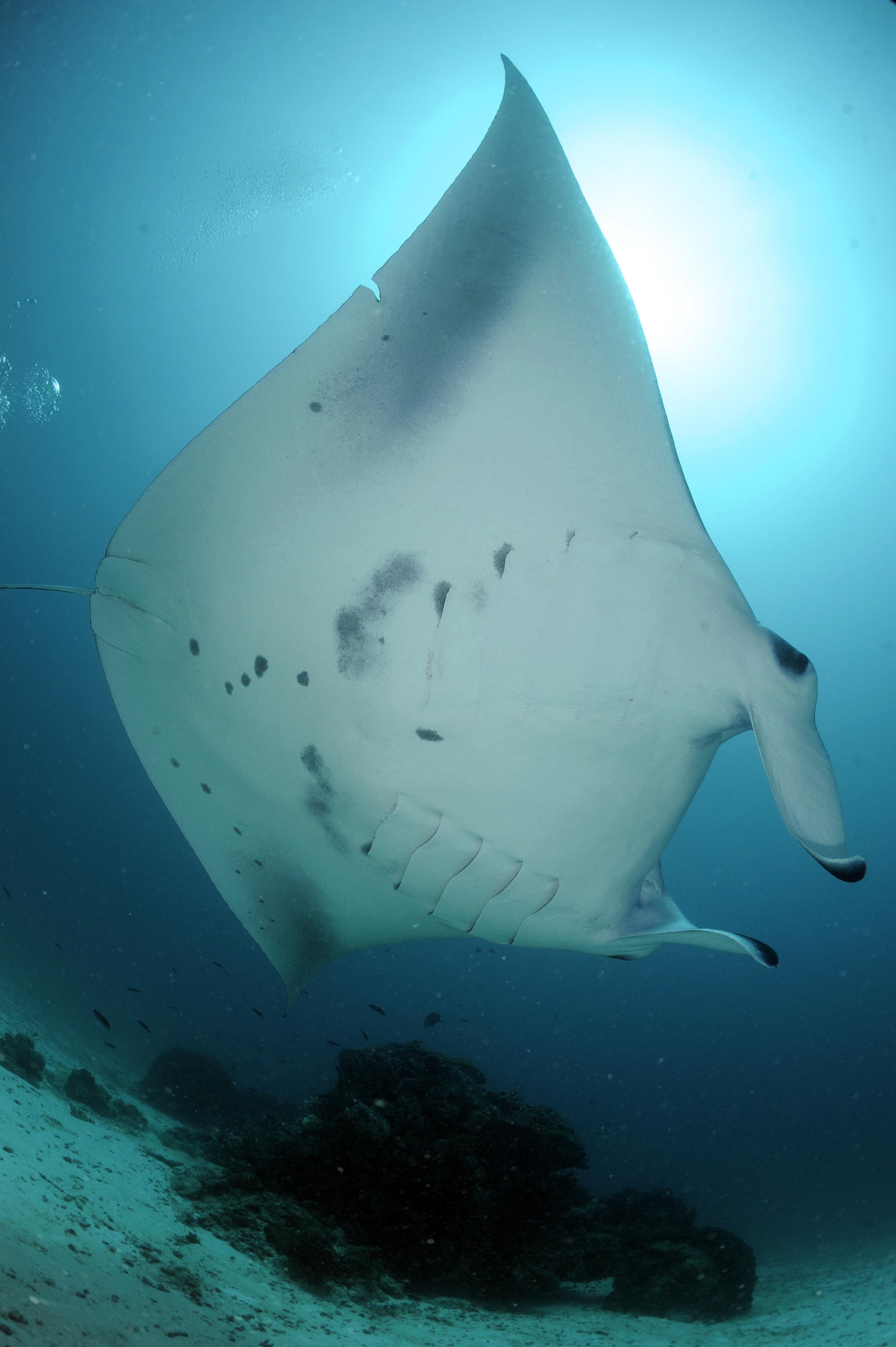 Reef Manta ID Photo