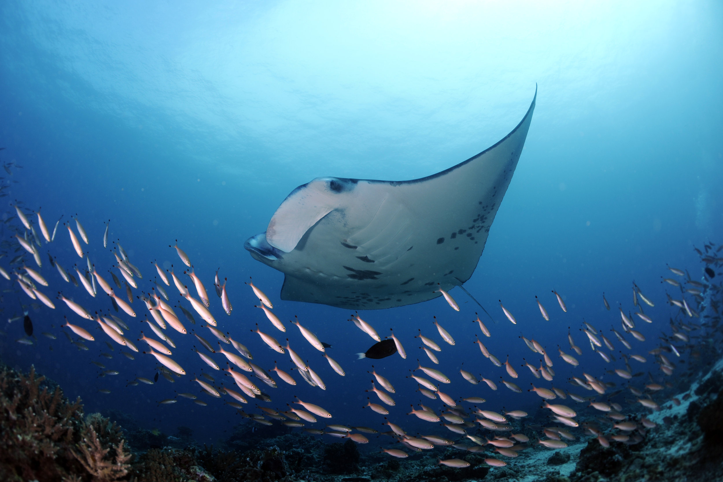 Manta flying through fish