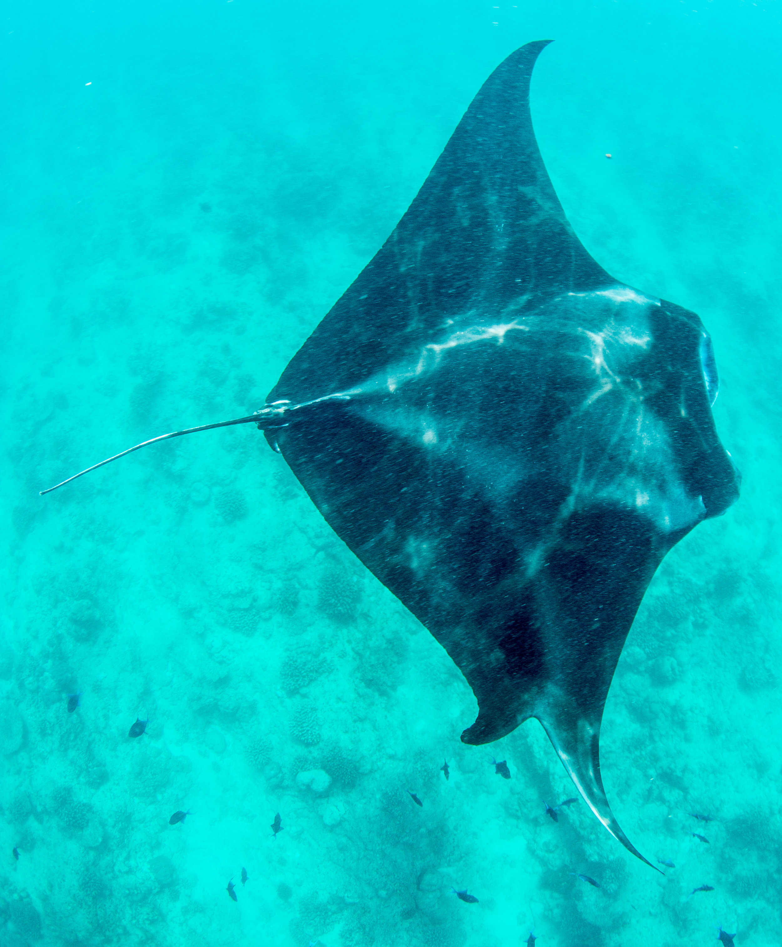 Sighted 22nd February 2017. Here you can clearly see this manta's split pectoral fin.