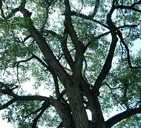 cottonwood crown