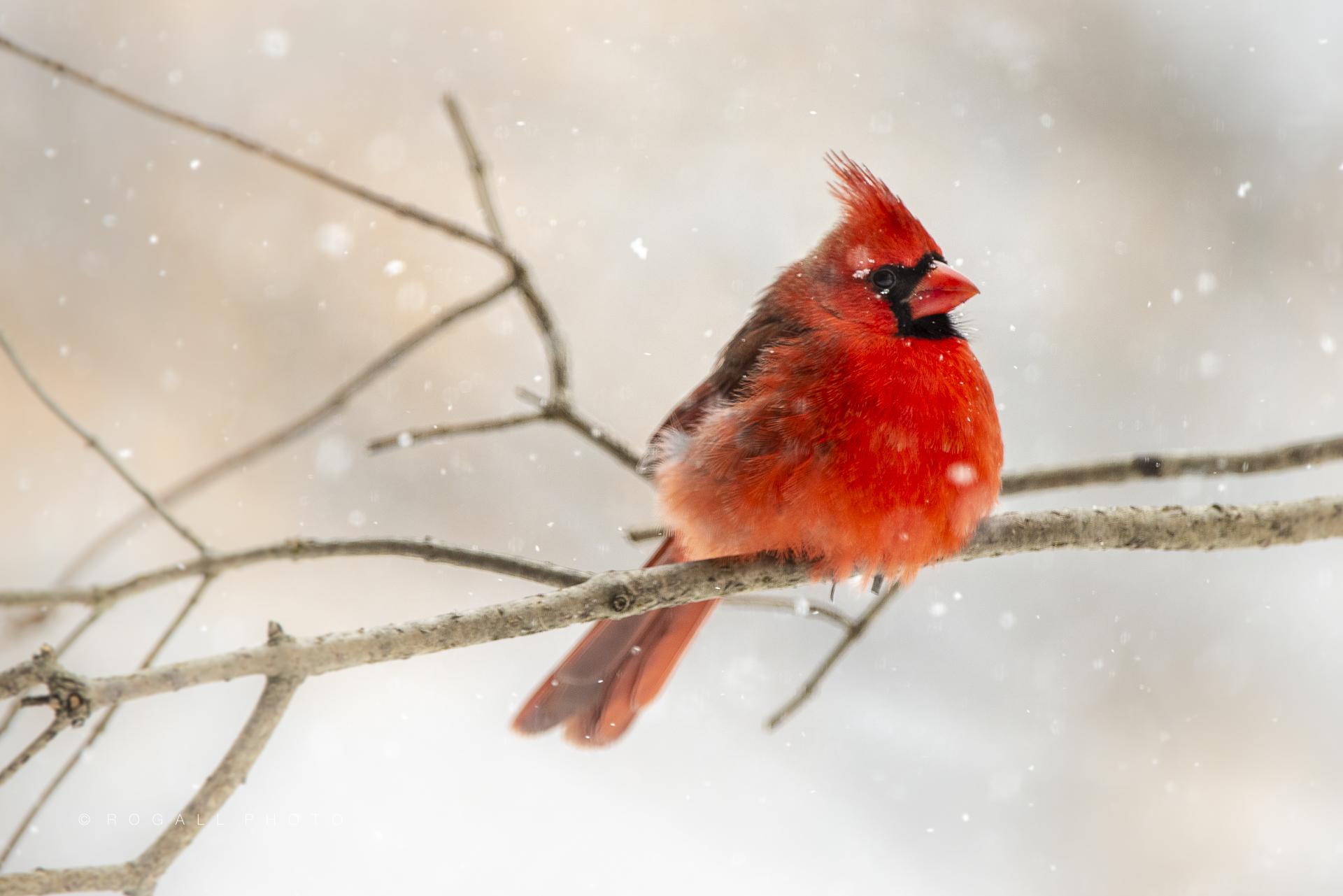 Male Cardinal, Winter 2019