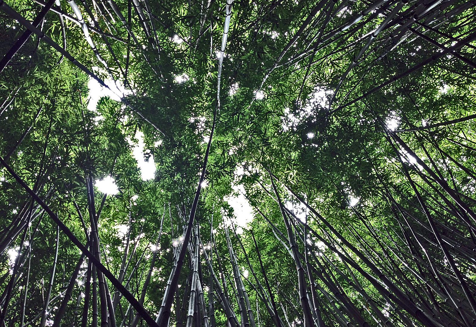 LV-ForestTrees.jpg