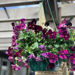 Cool Wave Pansy Hanging Baskets Reynolds