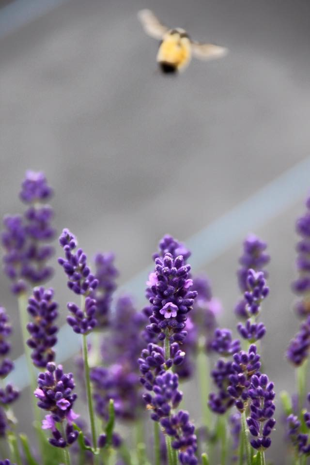 bee and lavender.JPG