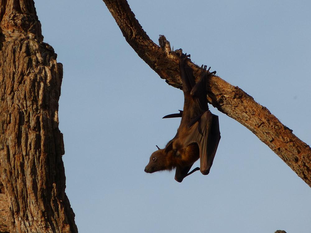 Gray headed flying fox
