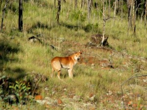 Wild Dingo-Dog on the road from Mt. Kaputar National Park