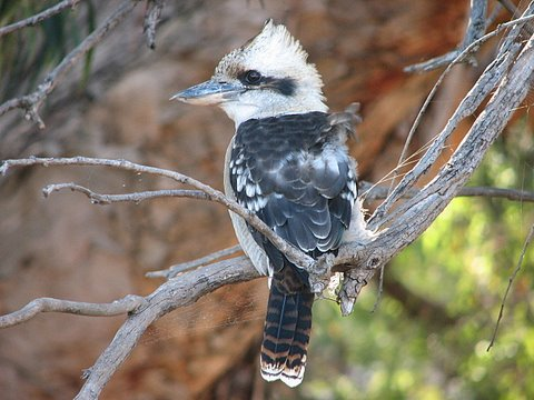 The kookabura has a maniacal, infectious laughing call