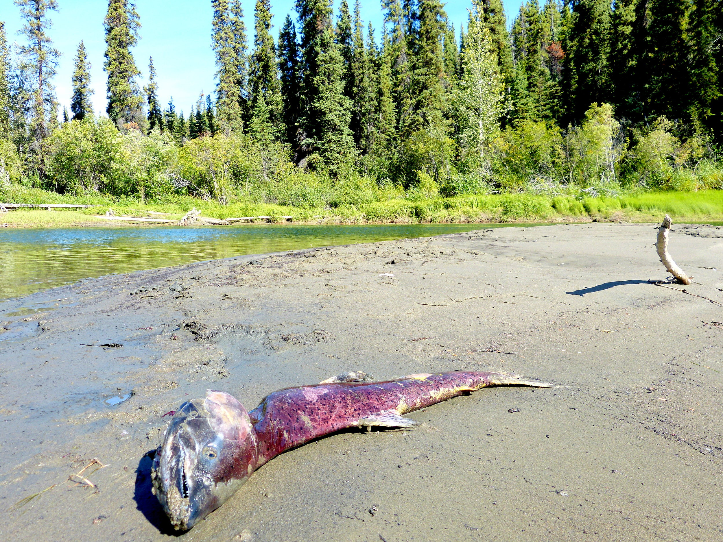 Body of a chinook salmon that swam more than 2, 000 miles up the Yukon River to spawn.