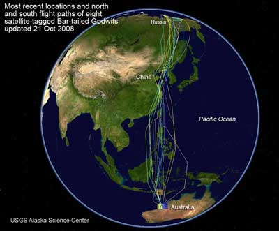 Bar-tailed Godwit Migratory Routes