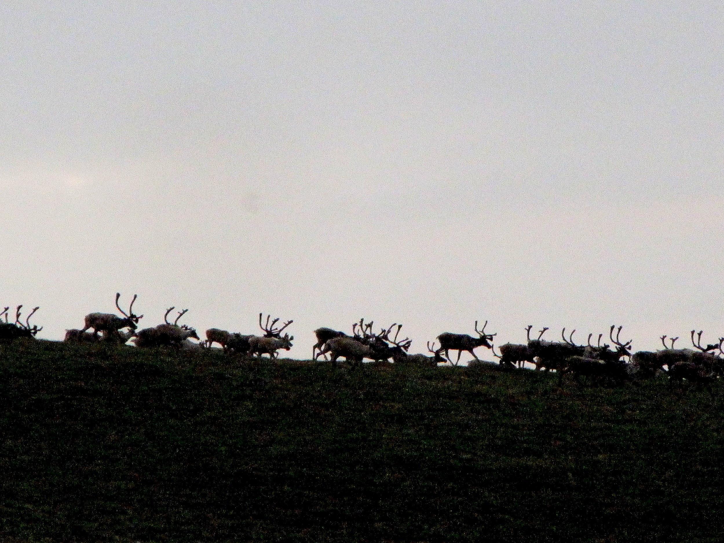 Migrating caribou on a mountain ridge in Alaska's western arctic.